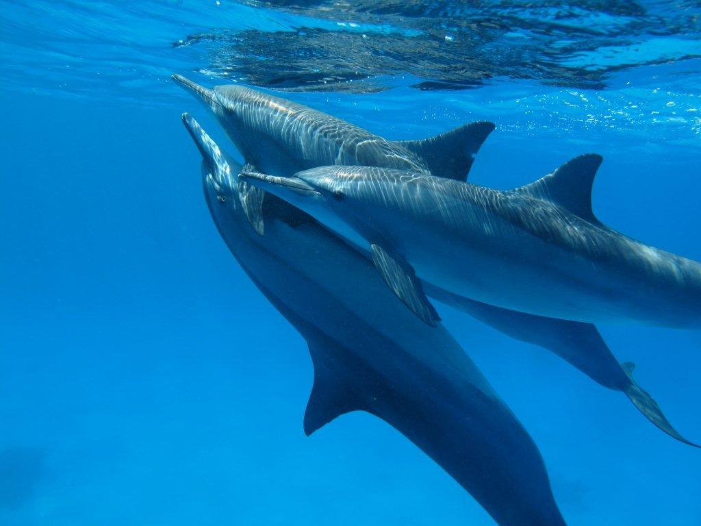Swimming With Dolphins Red Sea Egypt Holidays