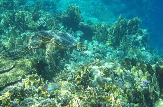 Sea Turtle - Red Sea Egypt