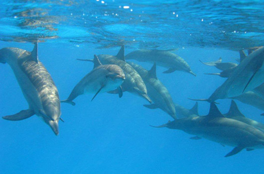 red sea dolphins